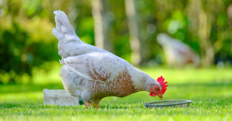 poule-abreuvoir