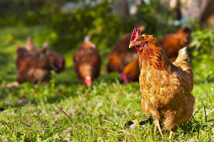 hierarchie-poules