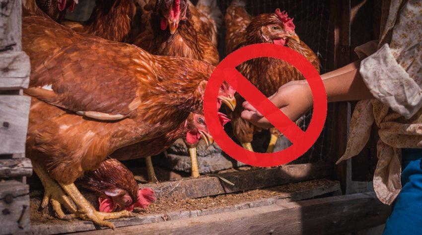 aliments-interdits-poules
