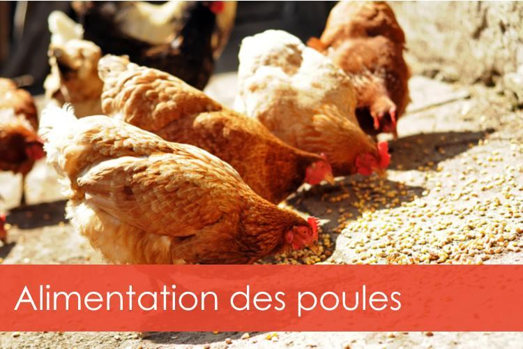 alimentation-des-poules
