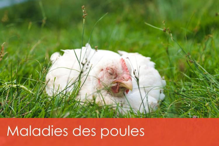 maladies-des-poules