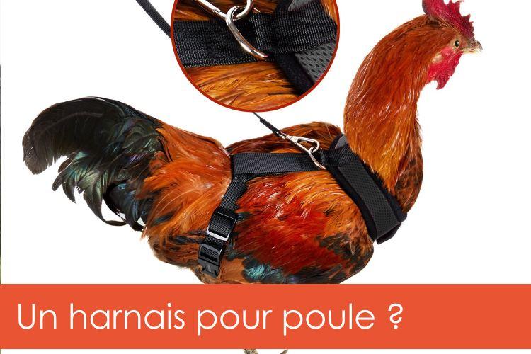 harnais-poules