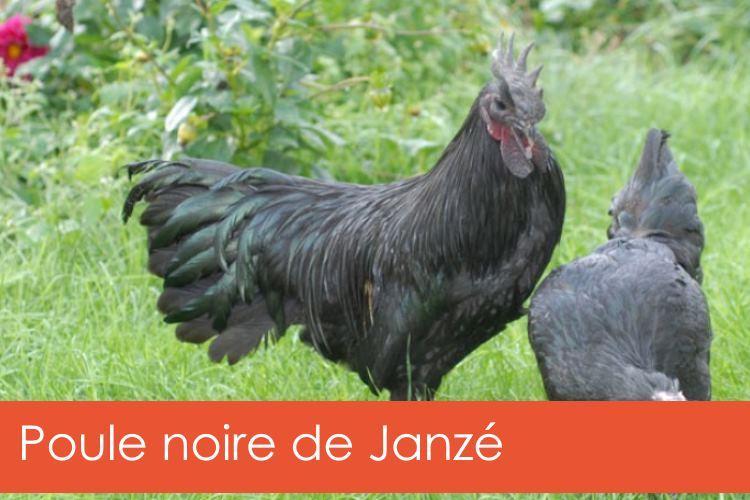 poule-noire-janze