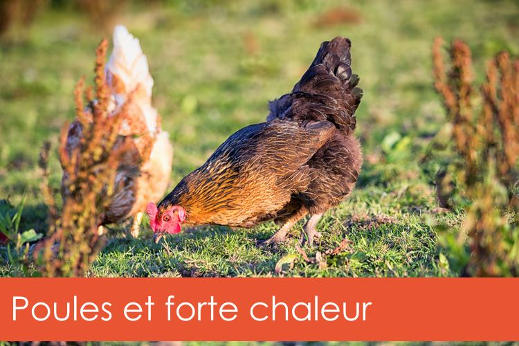 poules-forte-chaleur