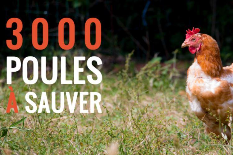 sauver-3000-poules