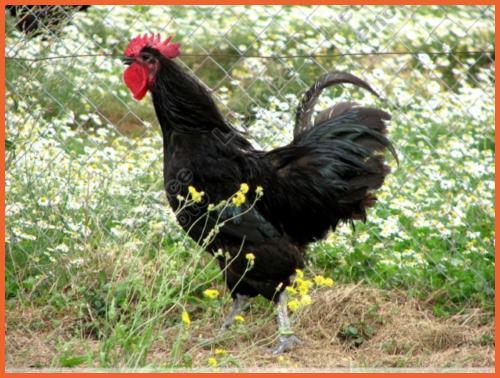 poule-geline-de-touraine