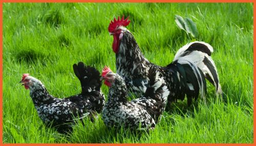 poule Gournay